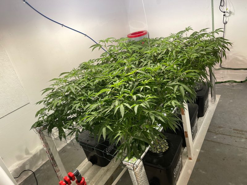 Arqlite Smart Gravel used in place of Rock-wool to grow cannabis