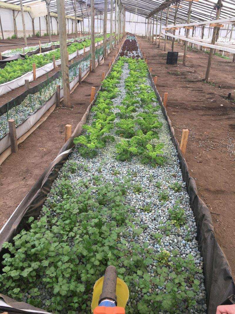 Hydroponic growth of vegetables using Smart Gravel medium